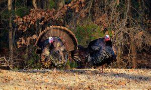 Winter Turkey Hunting Season to Open January 19th