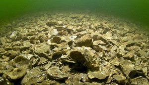 Oyster Advisory Commission Reviews Draft Management Proposal