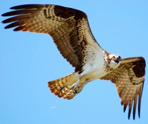Webcam Captures Ospreys' Return to Calvert County