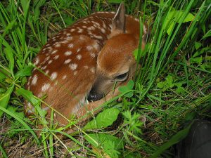 Marylanders Reminded to Keep Fawns Wild