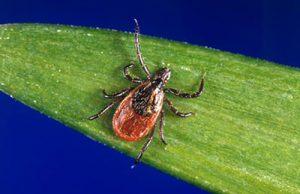 Experts Warn of Increases in Tick-Borne Powassan Virus