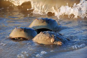 Horseshoe Crab Migration Begins in Maryland