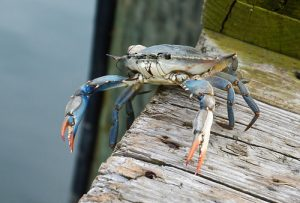 Modest Changes Coming to Maryland's Commercial Crab Harvest