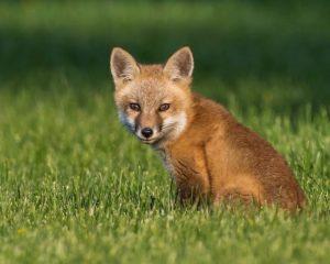 Fox Tests Positive for Rabies in Lexington Park