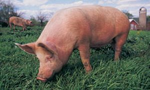 Variant Influenza Detected in 7 People Who Had Close Contact with Pigs at Fair