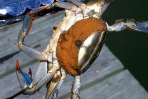 State Moves to Allow Increased Imports of Egg-Bearing Female Crabs, Worrying Some Crabbers