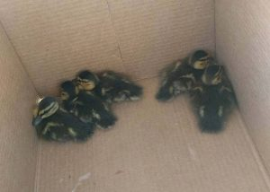 Charles County Sheriff's Office Cadet Saves Ducklings from Storm Drain