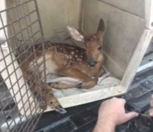 Sheriff's Deputy Saves Fawn Hit by Vehicle in Dameron