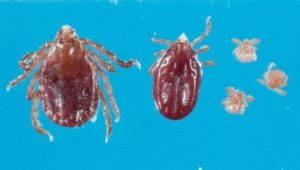 First Confirmed Longhorned Tick Found in Maryland