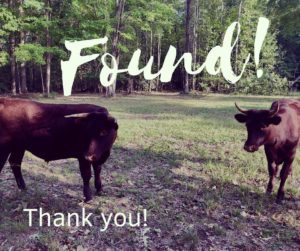 UPDATE: Missing Cows From Historic St. Mary's City Have Been Located
