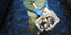 The Maryland Department of Natural Resources Begins Preseason Trout Stocking