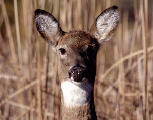 Maryland Hunters Harvest 77,000 Deer during 2018-2019 Season