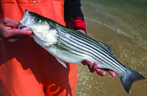 Striped Bass Conservation Regulations Set for Spring 2020