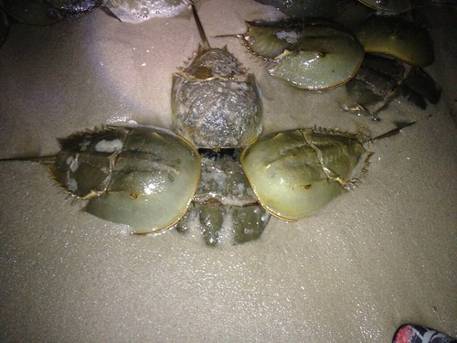 Annual Horseshoe Crab Migration Begins