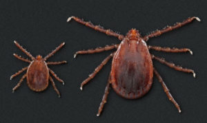 What you Need to Know About Asian Longhorned Ticks – A new Tick in the United States