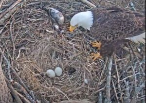 LIVE VIDEO: Charles County Parks and Recreation Excited to Announce Bald Eagles Chandler and Hope Lay Eggs