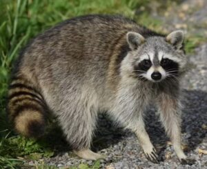 Two Animals Test Positive for Rabies in the Piney Point Area