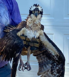 Gentle Hands Wildlife Services Rescue Osprey in St. Mary's County