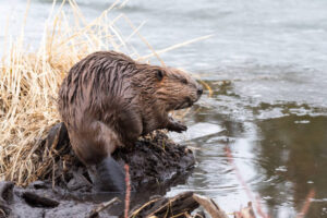 AUDIO: Two Adult Females Injured After Beaver Attack in Bushwood