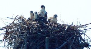 Two Juvenile Ospreys Euthanized for Maintenance of Calvert County Ball Park Lights